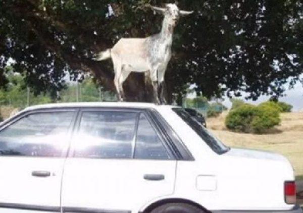 Goat on car