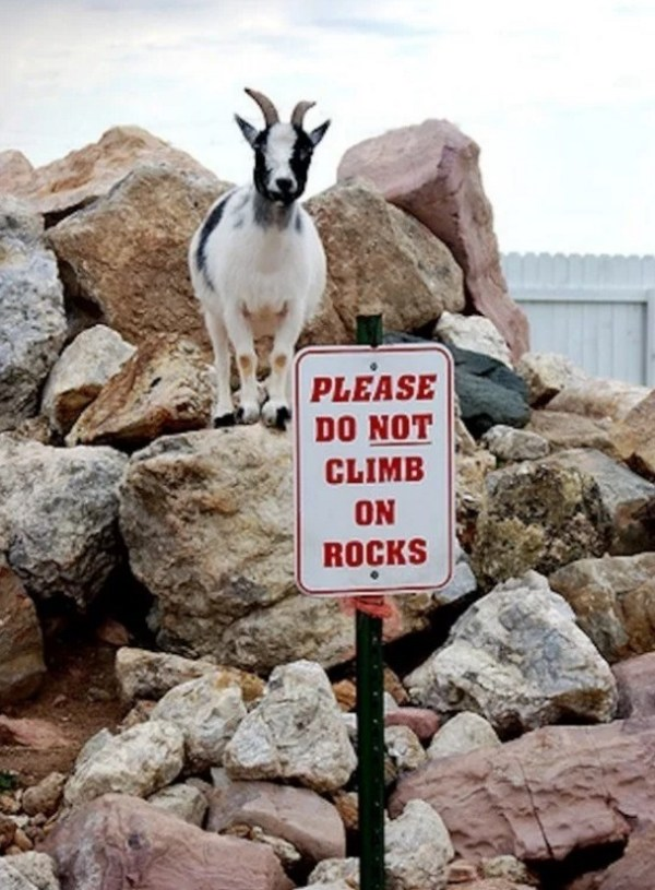 Goat Climbing on rocks when he shouldn't