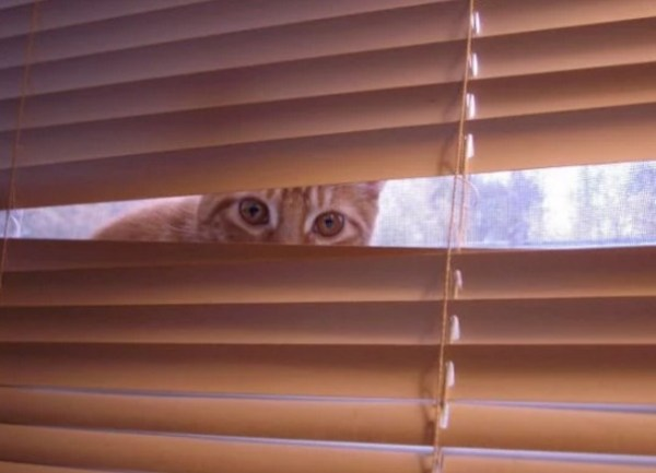 Creepy Cat Looking Through gap in the Window Blinds