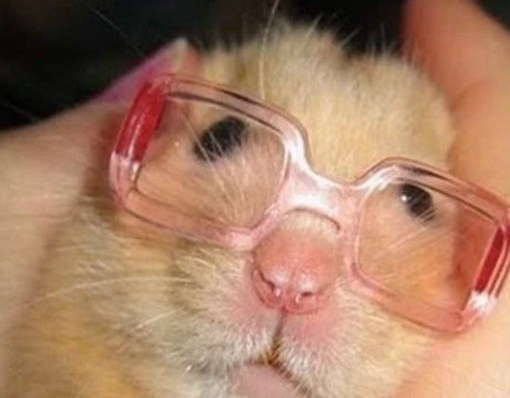 Hamster Wearing Glasses