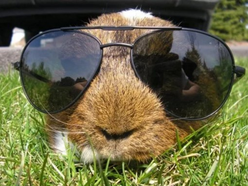 Guineapig Wearing Glasses