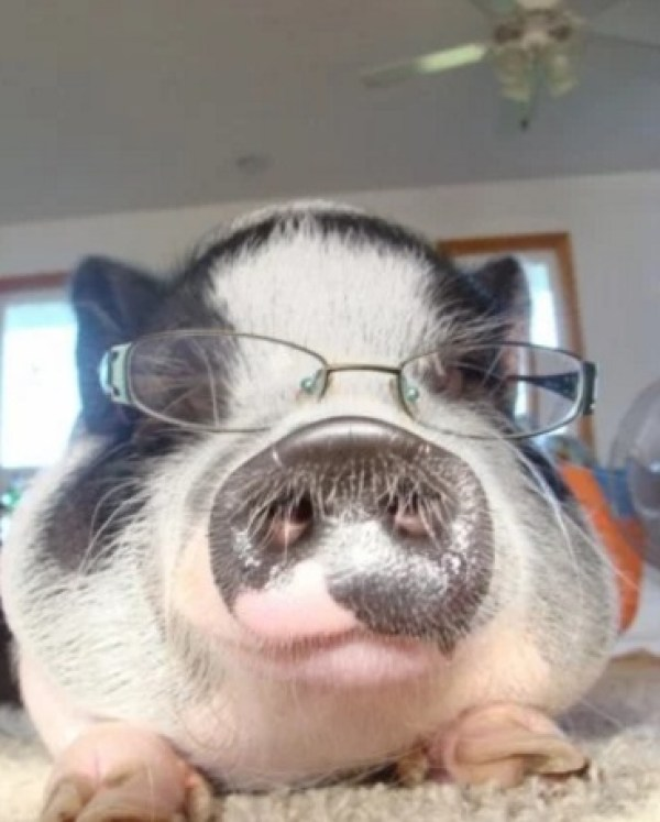 Pig Wearing Glasses