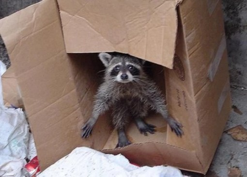 Raccoon in Box