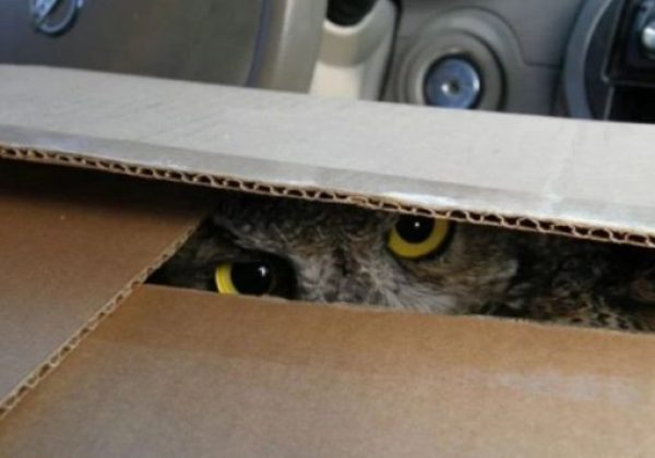 Owl in Box
