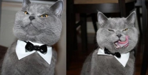 Cat Wearing a Black Bow Tie