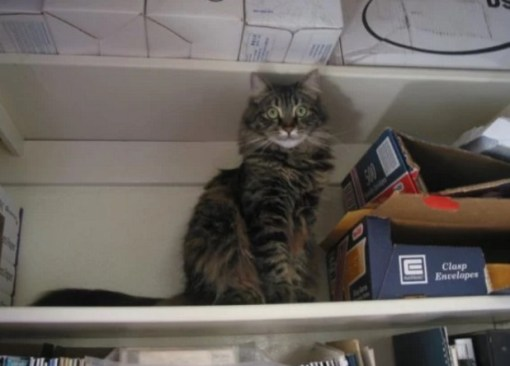 Cat in Book Shelf