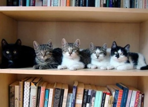 Cats in Book Shelf