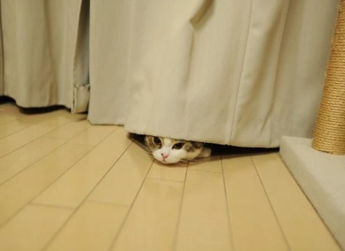 Cat hiding behind curtain
