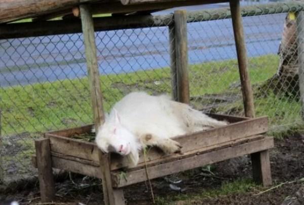 Goat Asleep in Food Bowl