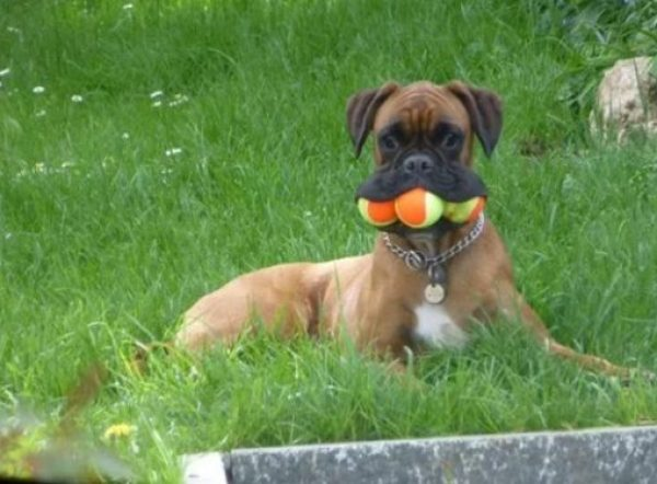 Boxer dog with a mouthful of tennis balls