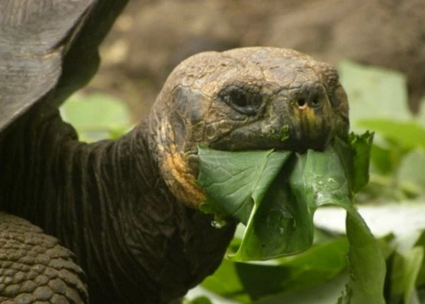 Tortoise with a mouthful of lettuce