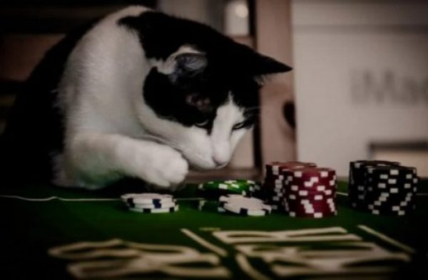 Cat Gambling