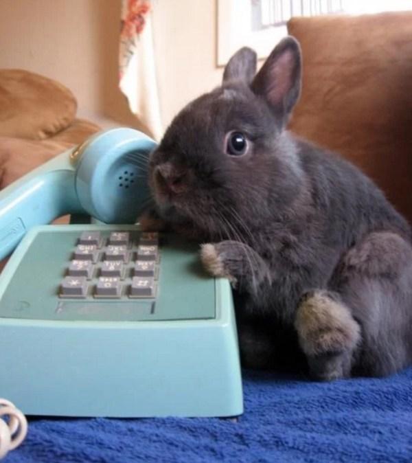 Rabbit using a phone