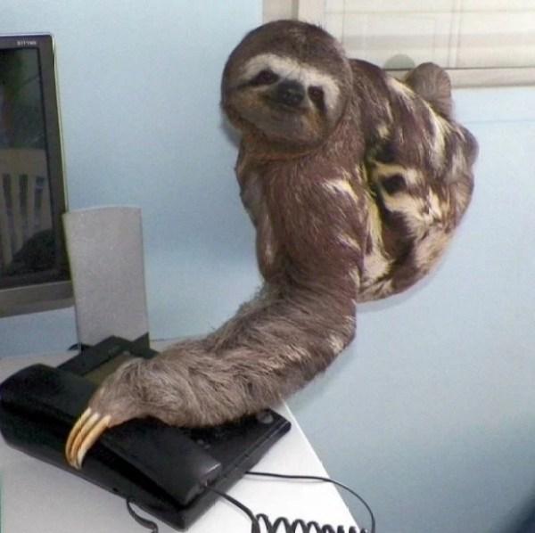 Sloth using a phone