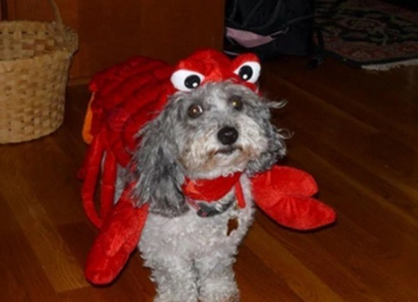 Dog in Lobster Costume
