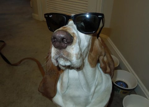Top 10 Images of Funny Basset Hounds