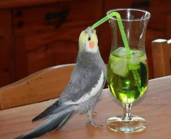 Cockatiel using a drinking straw
