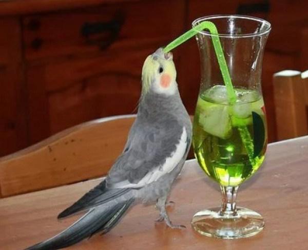 Cockatiel using a drinking straw