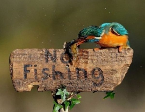 Rebellious Kingfisher