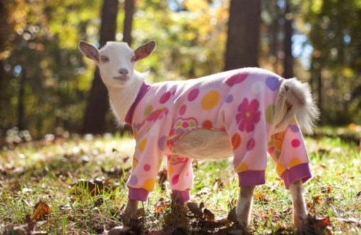Goat in Pajamas
