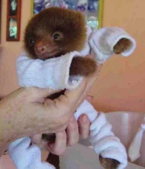 Baby sloth in Pyjamas
