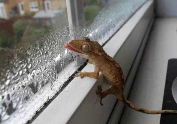 Crestie Licking a Window