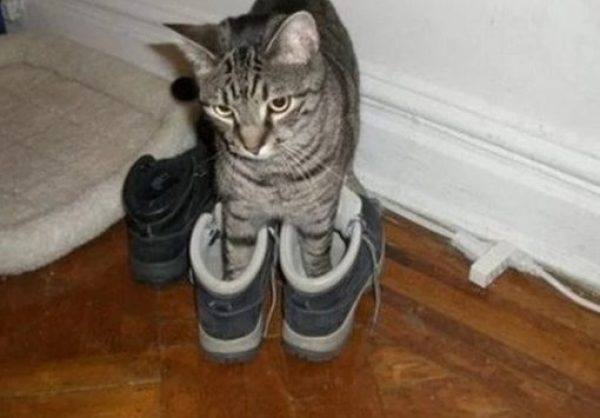 Ten Fashionable Cats Wearing Their Human Owner S Shoes