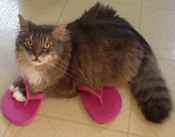 Image result for cats wearing shoes
