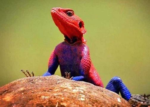 Red Headed Agama Looks like Spider-Man