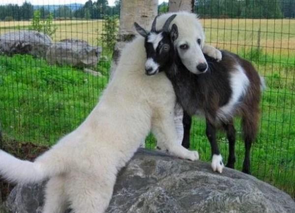 Dog cwtching, cuddling, hugging goat