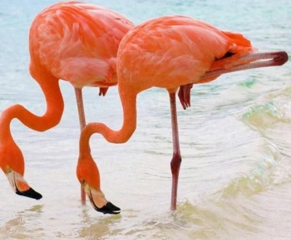 Identical Twin Flamingos
