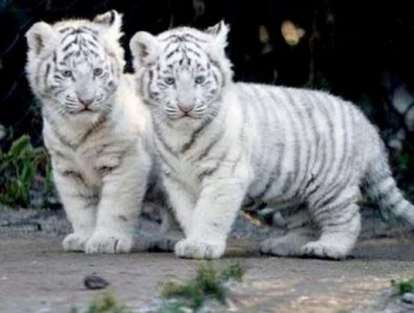 Identical Twin Bengal Tigers