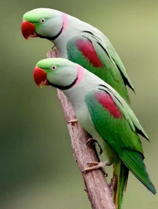 Identical Twin Parrots