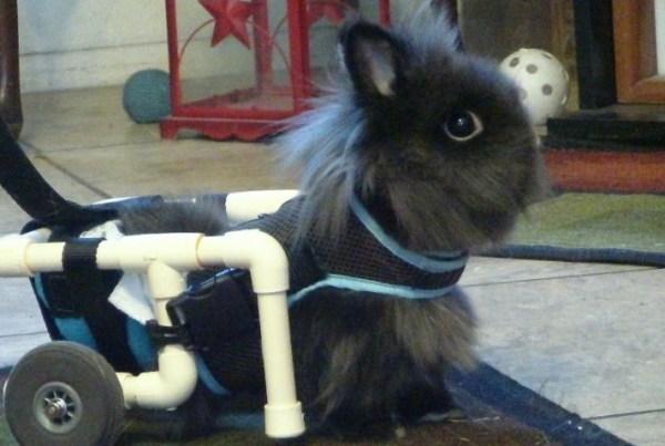 rabbit in a wheelchair