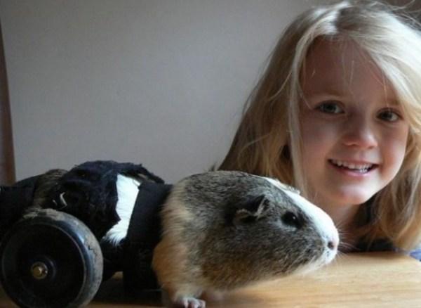 guinea pig in a wheelchair