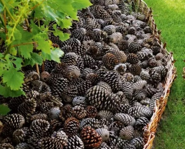 Pine Cones Turned into Mulch