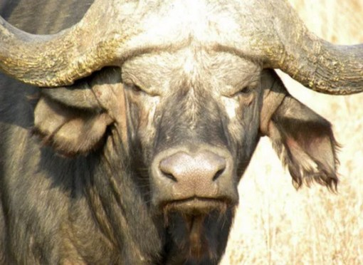 Grumpy Looking Buffalo