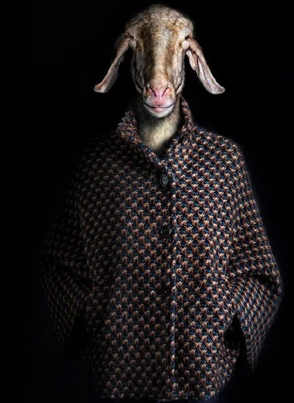 Goat Dressed in Latest Fashion