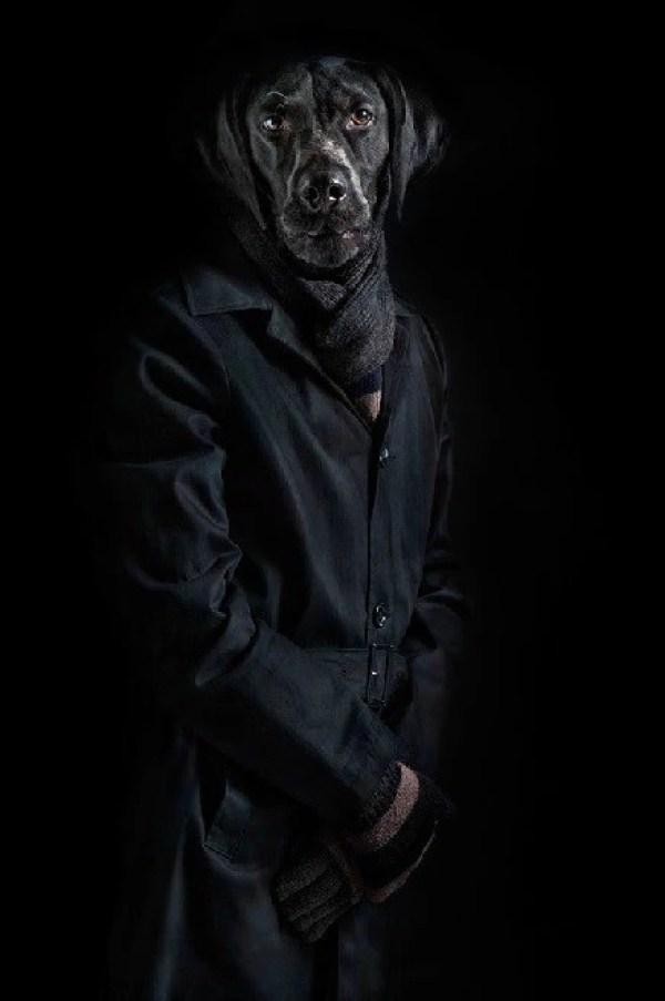 Black Labrador Dressed in Latest Fashion