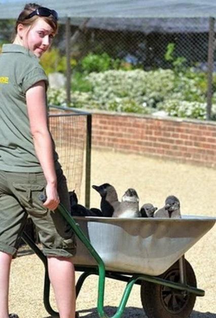 Penguins in a wheelbarrow