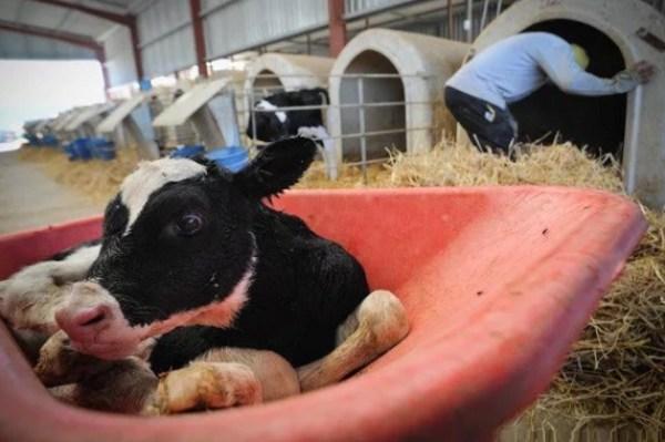 Cow in a wheelbarrow