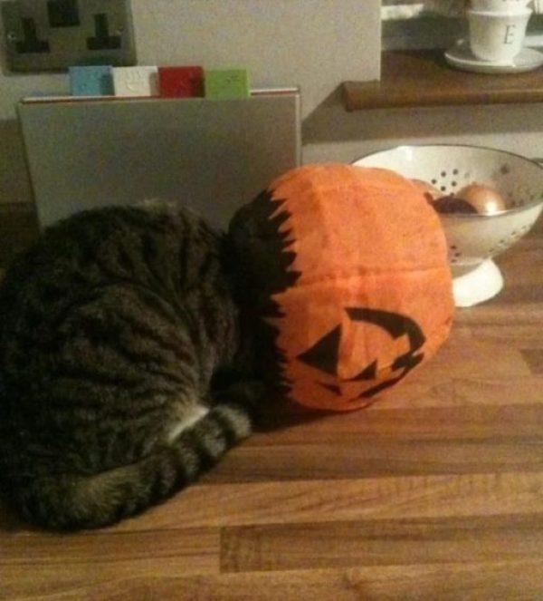 Cat stuck in a pumpkin lantern