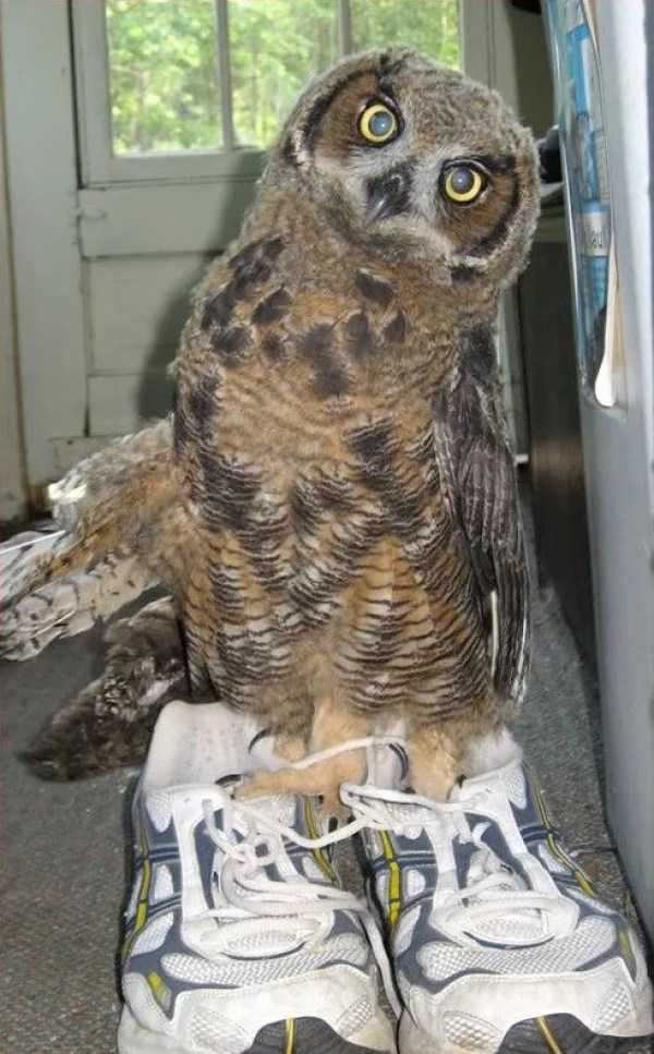 Owl Wearing Shoes