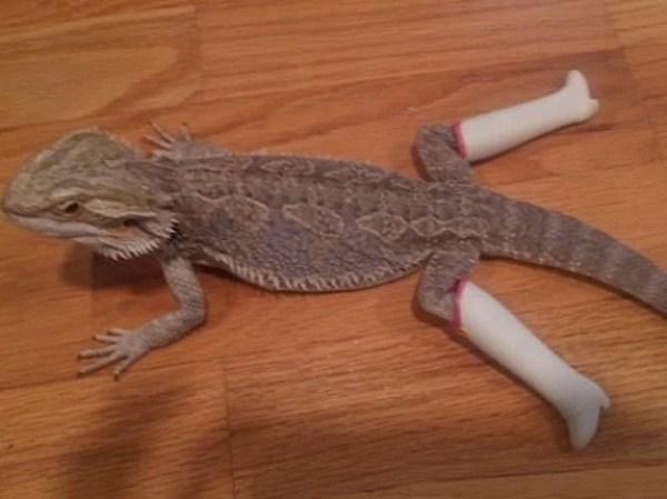 Lizard Wearing Shoes