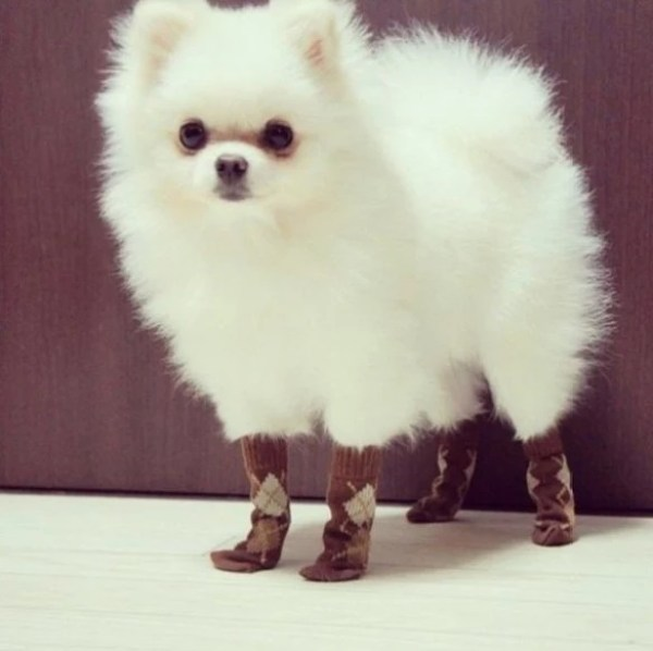 Dog wearing socks