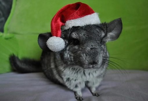 Chinchilla in a Christmas Santa Hat