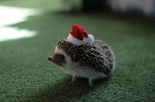 Hedgehog in a Christmas Santa Hat