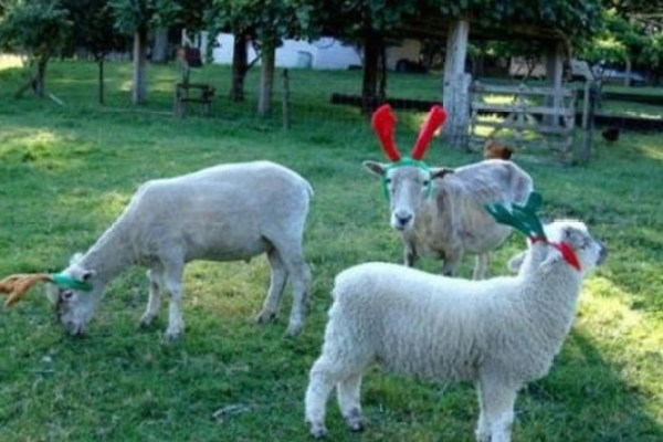 Sheep Dressed as a Reindeer