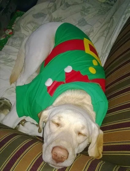 Dog in Elf Costume