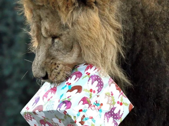 Lion With a Christmas Present